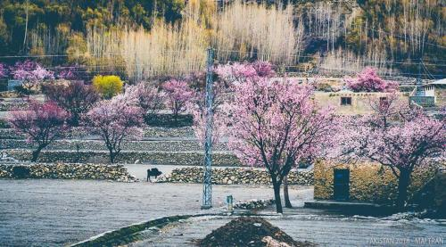 Hunza-Blossom-Tour-Vietnamese-Group-with-HunzaExplorers-1013